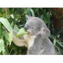 Eukaliptusowe